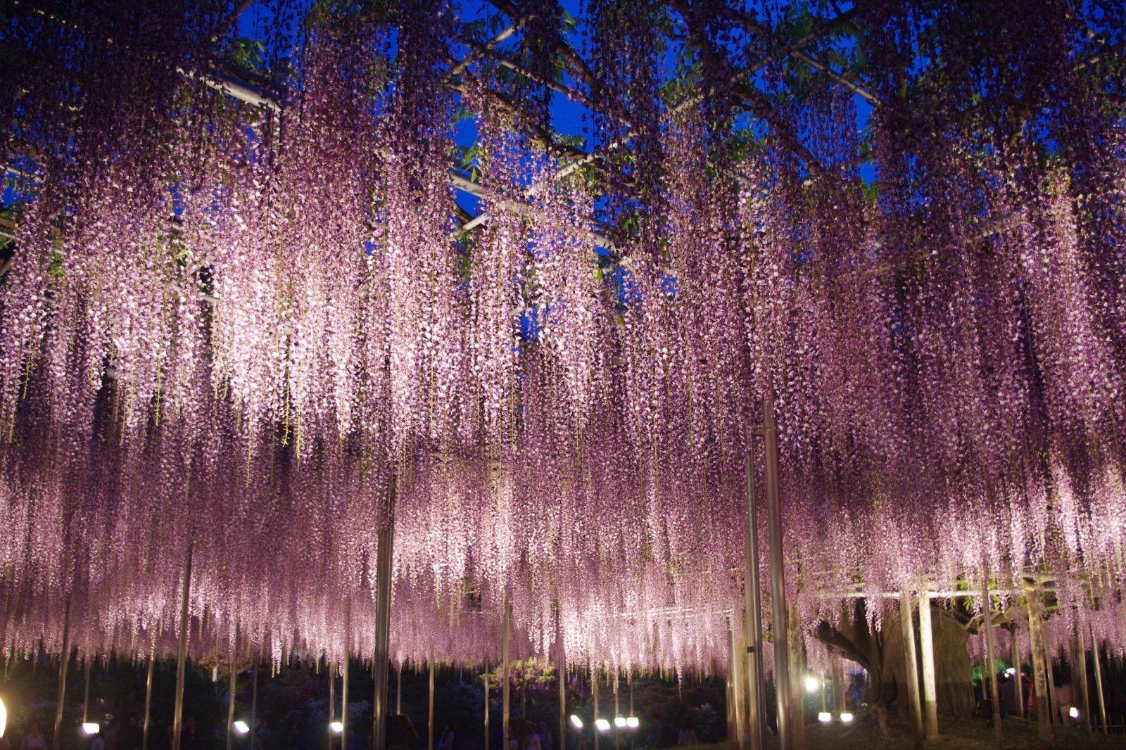 2020 Great Wisteria Festival At Ashikaga Flower Park Ashikaga Wisteria Festival