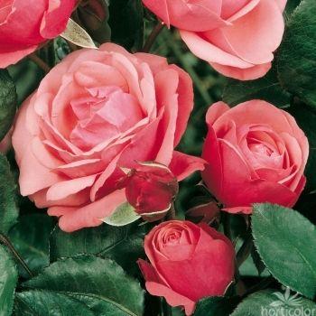 Rosier grimpant 39 rose perp tuel 39 pot de 3 litres roses pinterest rosier pots et roses - Entretien rosier en pot ...