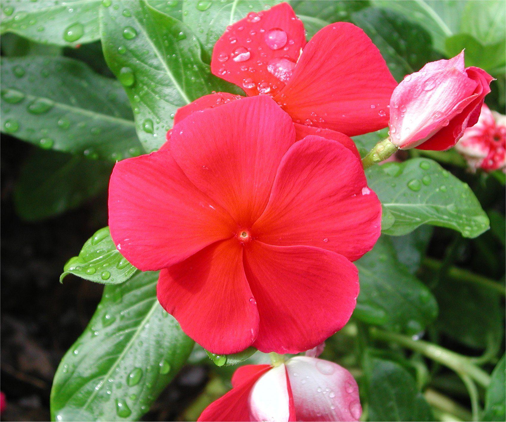 vinca sunstorm 300x250 Flower of Vinca Sunstorm | garden | Pinterest ...