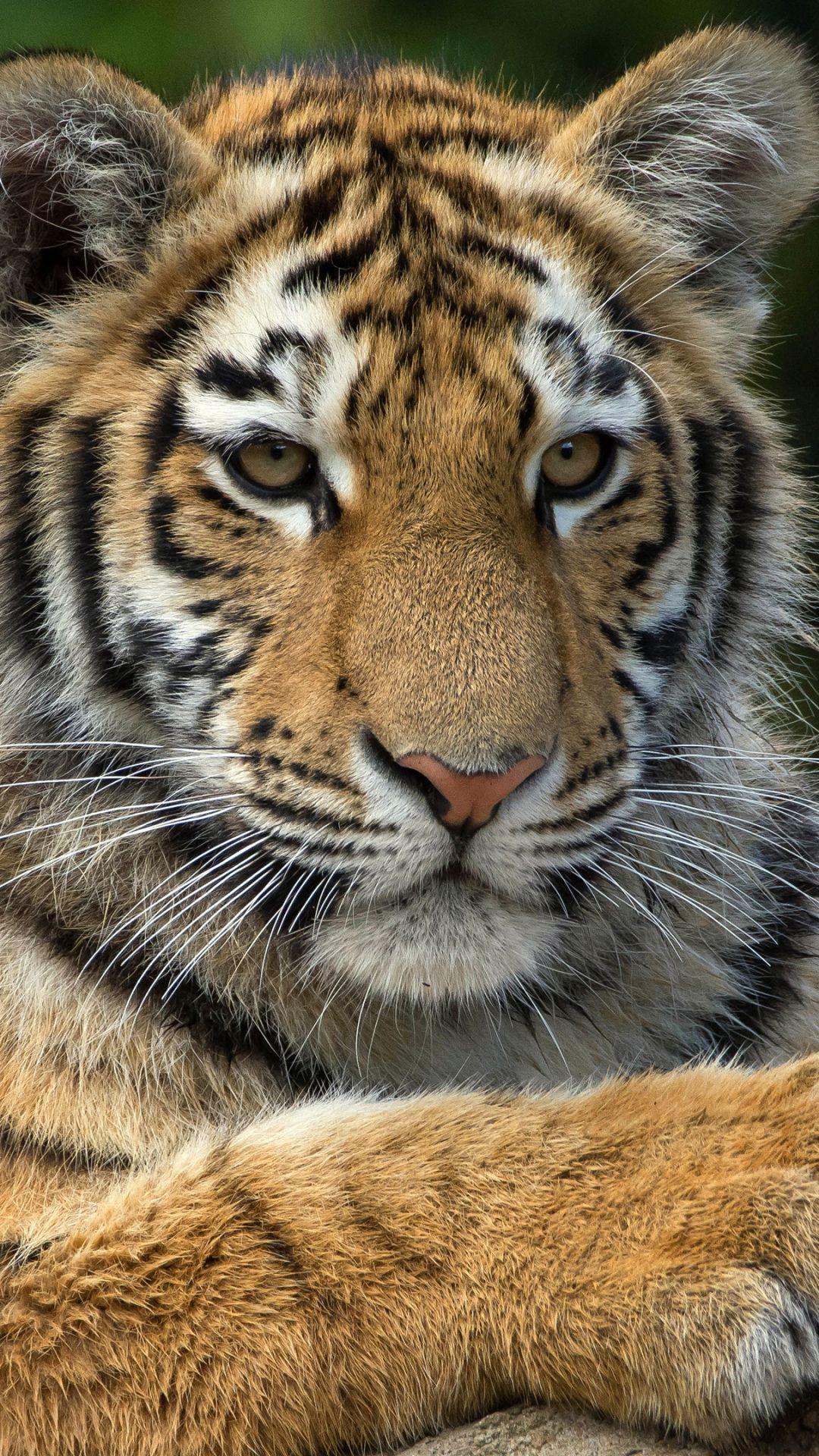 Animal Tiger 1080x1920 Mobile Wallpaper Tiger Wallpaper