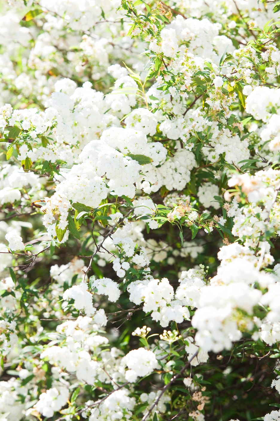 Mays Garden: May Bush Is One Of The Most Spectacular White