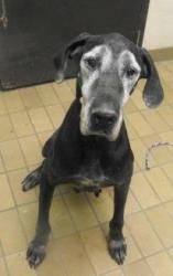 Adopt Carmela On Great Dane Dogs Peace Love Dogs Paws Rescue