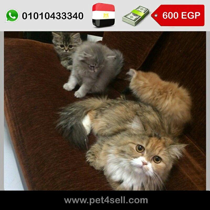 مصر القاهرة قطط شيرازي للبيع بالام ٣ صغار عمر شهرين و نص تقريبا ٢ ولاد و بنت 01010433340 Pet4sell Cats Animals