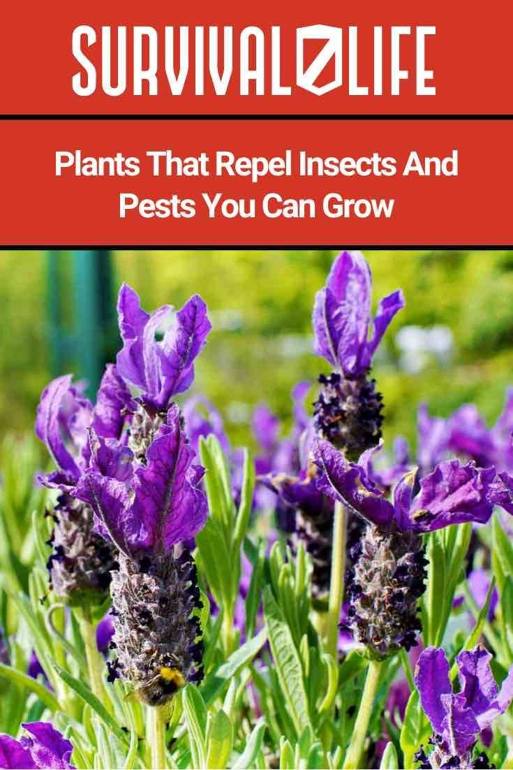 mosquito plants #mosquitoplants  This article will discuss Plants That Repel Insects Every Prepper Need to Know.  #gardening #planting #vegetables #organicfood #health #veggies #green #shtf #prepper #survivaltips #outdoors #DIY #plants #farming #farm