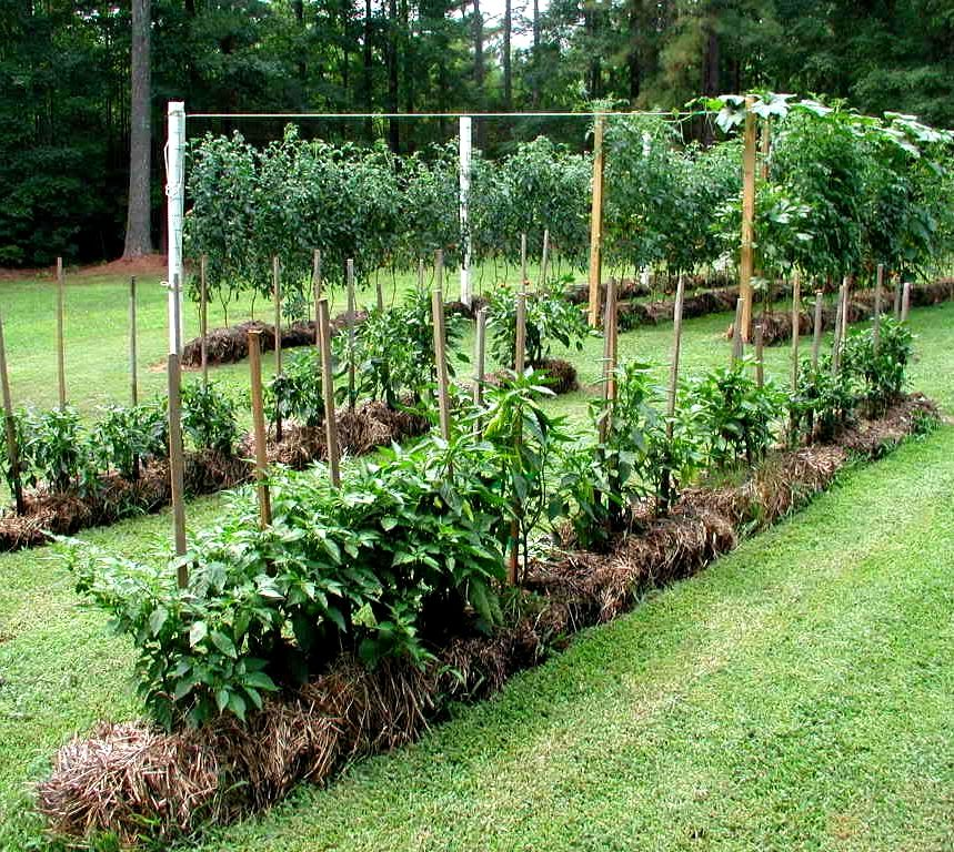 Start a new garden by directly planting seedlings into straw bales garden pinterest straw for Best plants for straw bale gardening