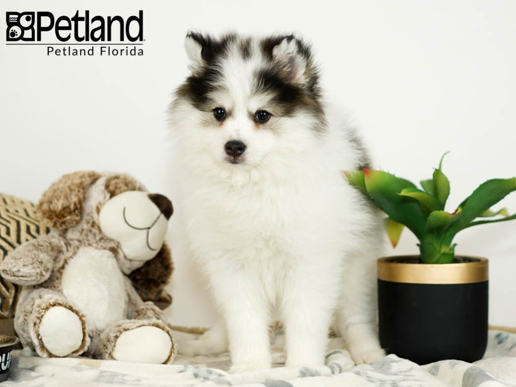 Petland Florida has Pomsky puppies for sale! Check out all