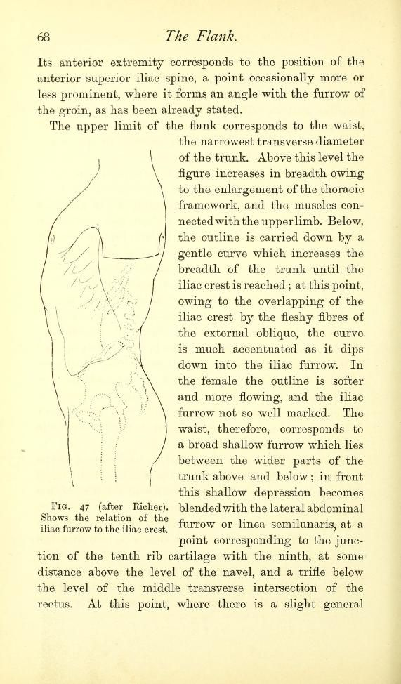 Diagram showing the relation of the iliac furrow to the iliac crest ...