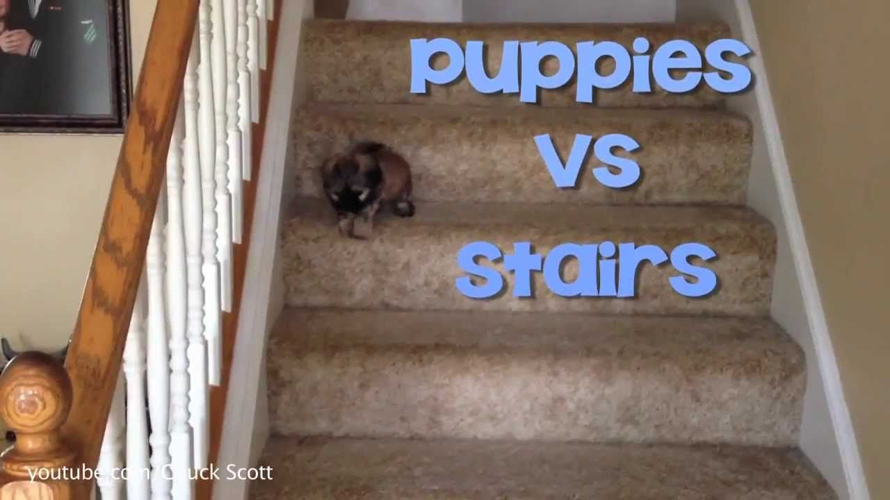 Puppies Vs Stairs Cute Dog Pictures Cute Puppy Videos Puppies