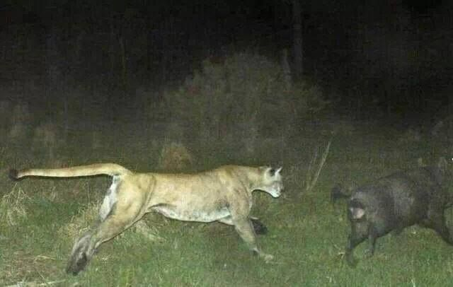 east texas cougars personals 4200 smith school road • austin, texas 78744 texas parks and wildlife texas parks and wildlife department continues to mountain lions (cougars) in texas.