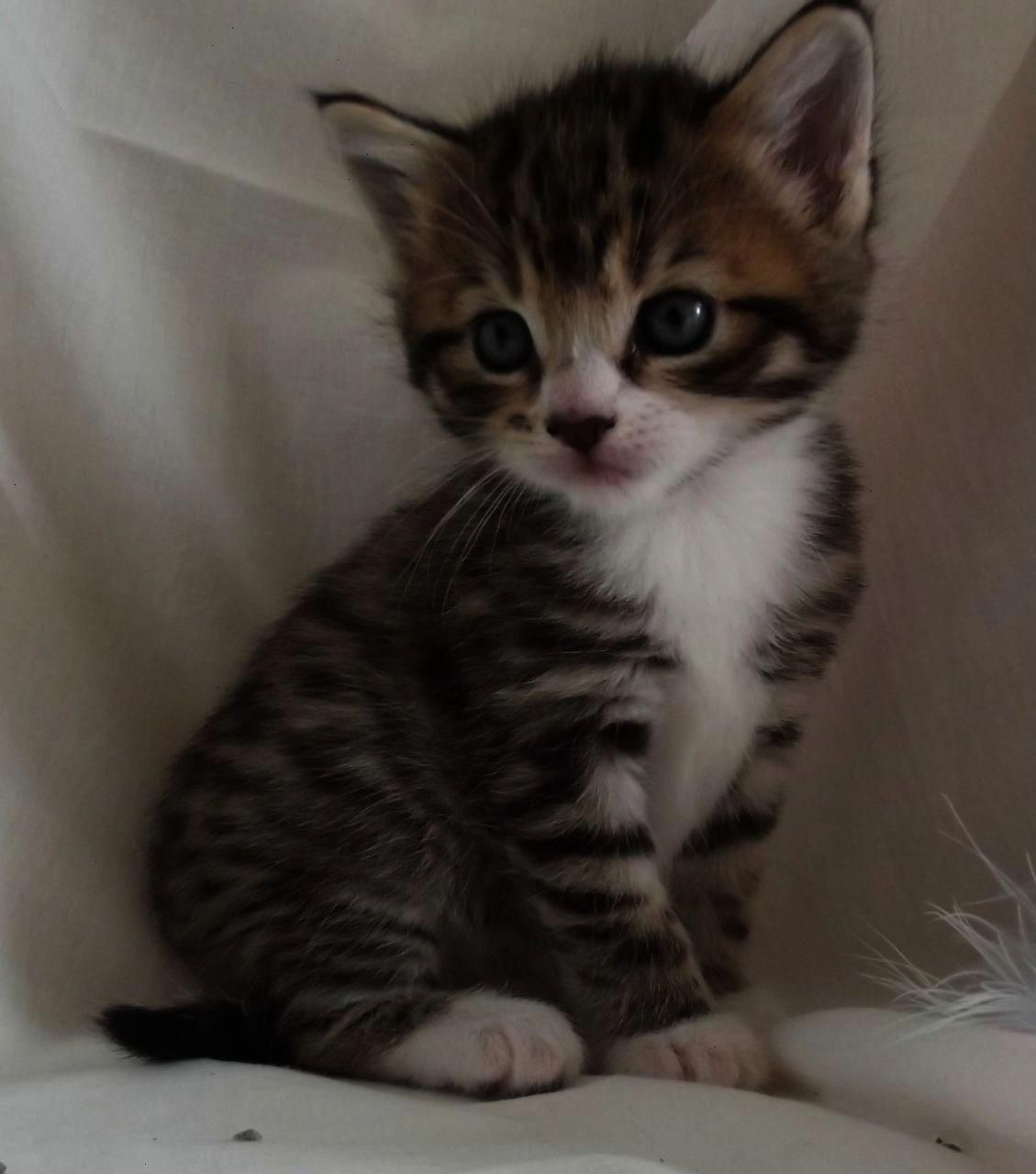 Gray Brown And White Kittens With Blue Eyes Google Search Grey Tabby Kittens Kitten Pictures Grey Kitten