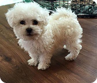 Troy Mi Miniature Poodle Lhasa Apso Mix Meet Chloe A Puppy
