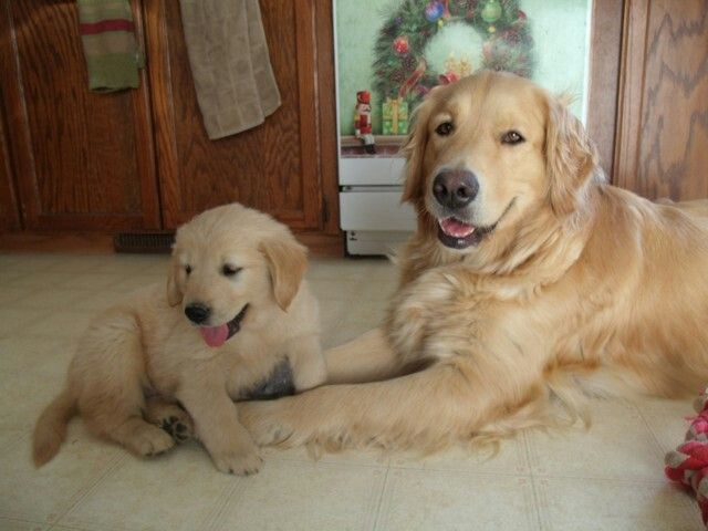 Mother And Daughter Golden Retrievers Golden Retriever Bulldog