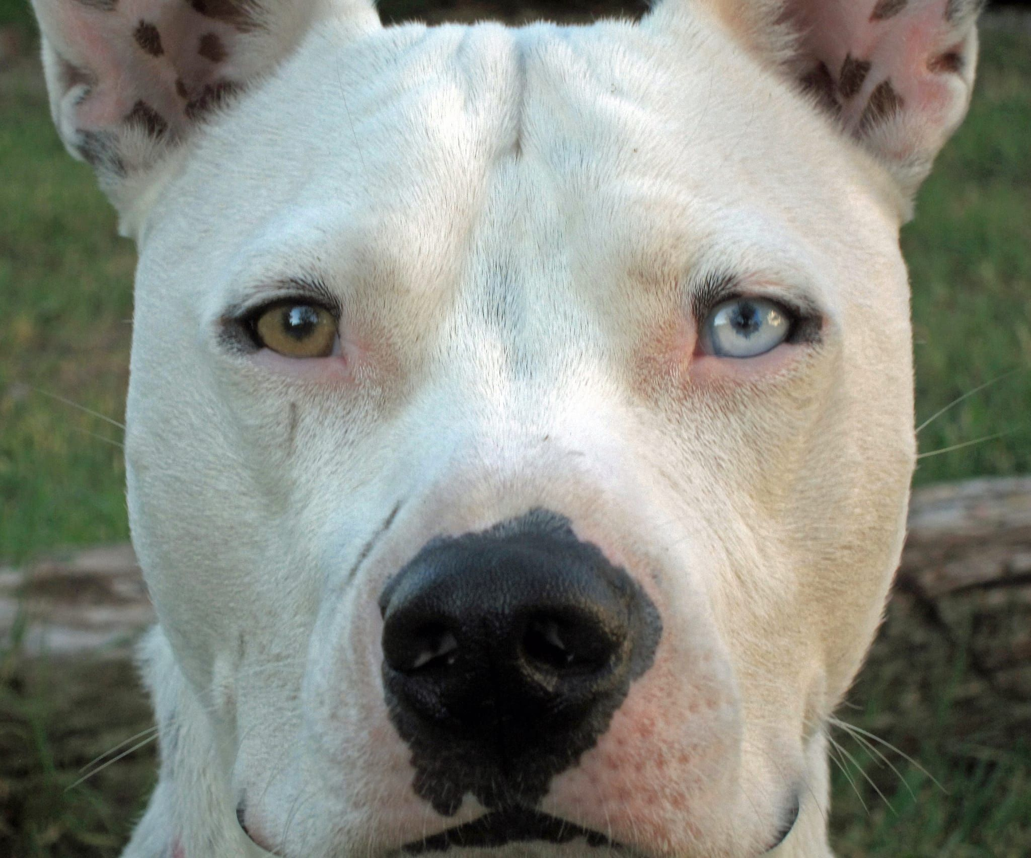 14 Beautiful Dogs With Different Colored Eyes Different Colored