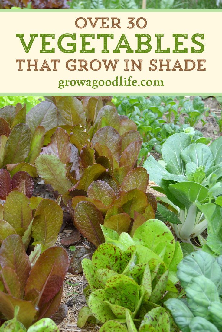 30+ Vegetables That Grow in Shade is part of Summer vegetables garden, Shade garden, Spring vegetable garden, Shade garden design, Healthy garden, Vegetable garden design - Shady areas do present a challenge to growing a vegetable garden  Don't let it stop you from growing food  Here are over 30 vegetables that you can grow in partially shady areas