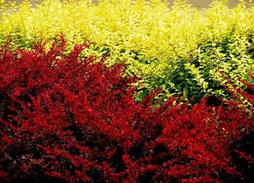 Colors of Late Summer by Linda Turney - Nature Up Close Trees & Bushes ( red, bushes, green, yellow, leaves )