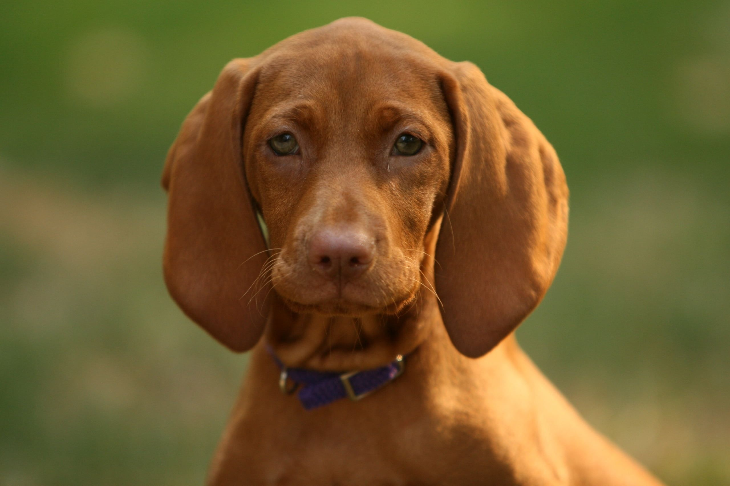 Have You Seen This Fantastic Pic 3 In 2020 With Images Vizsla Redbone Coonhound Dogs