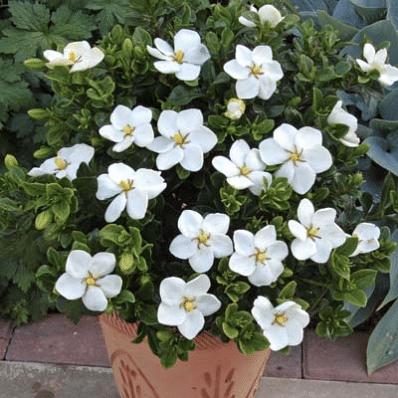 Double Mint Gardenia Shrubs In 2020 Gardenia Shrub Gardenia Plant Shrubs For Sale
