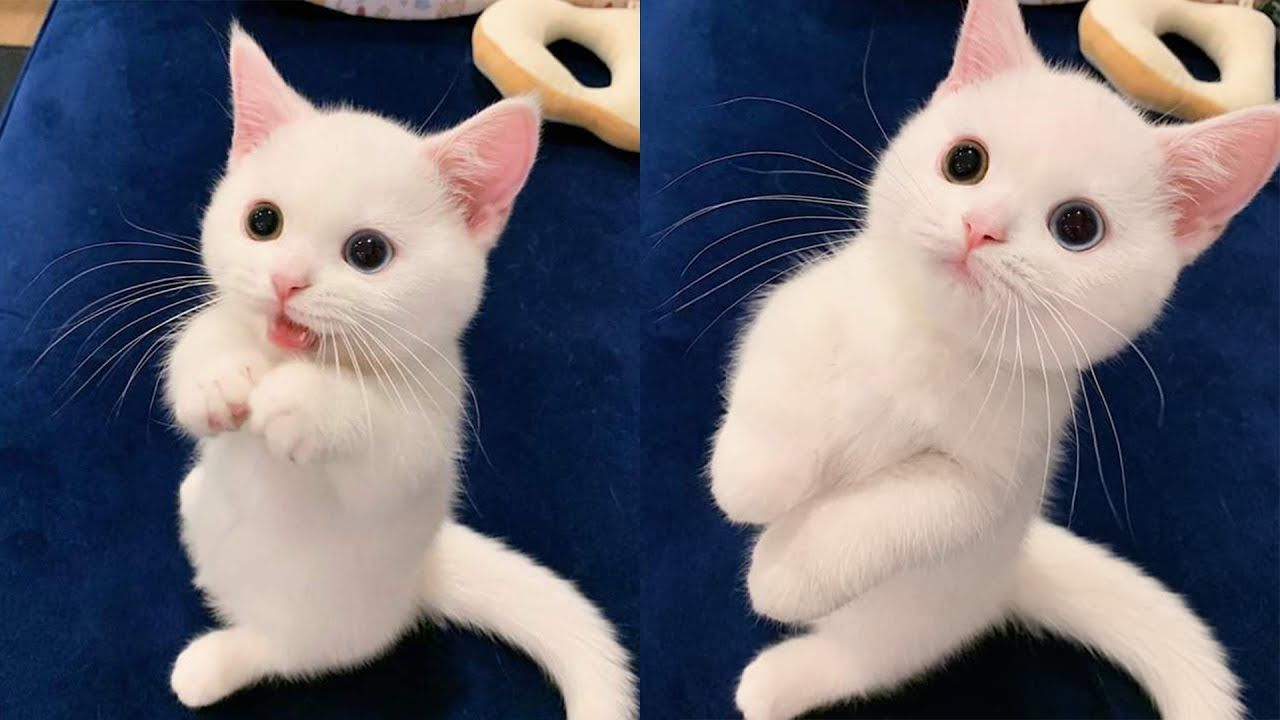 Cute Funny And Smart Cats Compilation Animals Video 2020 Tricksy Pets Youtube In 2020 Cute Cat Gif Kittens Cutest Cute Kitten Gif