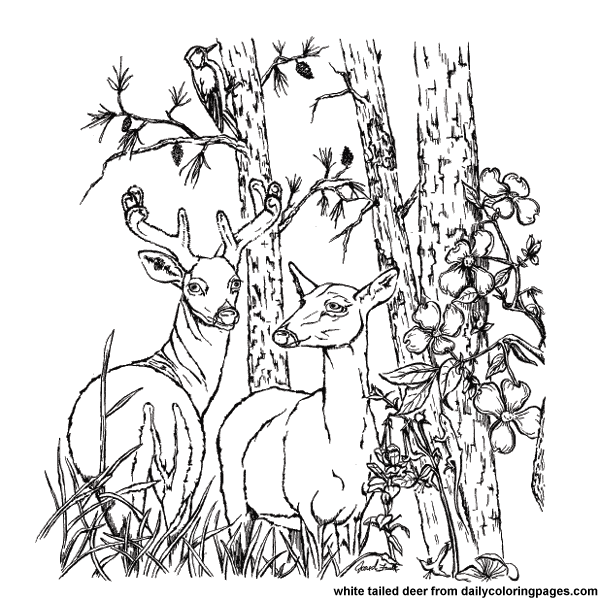 Realistic Deer Coloring Pages Coloring Page For Kids Deer Coloring Pages Animal Coloring Pages Animal Coloring Books