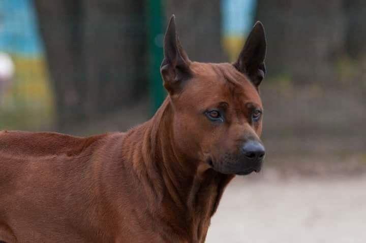 Puppies Thai Ridgeback Dog red color, FOR SALE Ukraine