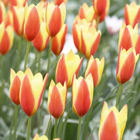 Top Tulips That Come Back Every Year Spring Flowering Bulbs Organic Raised Garden Beds Bulb Flowers