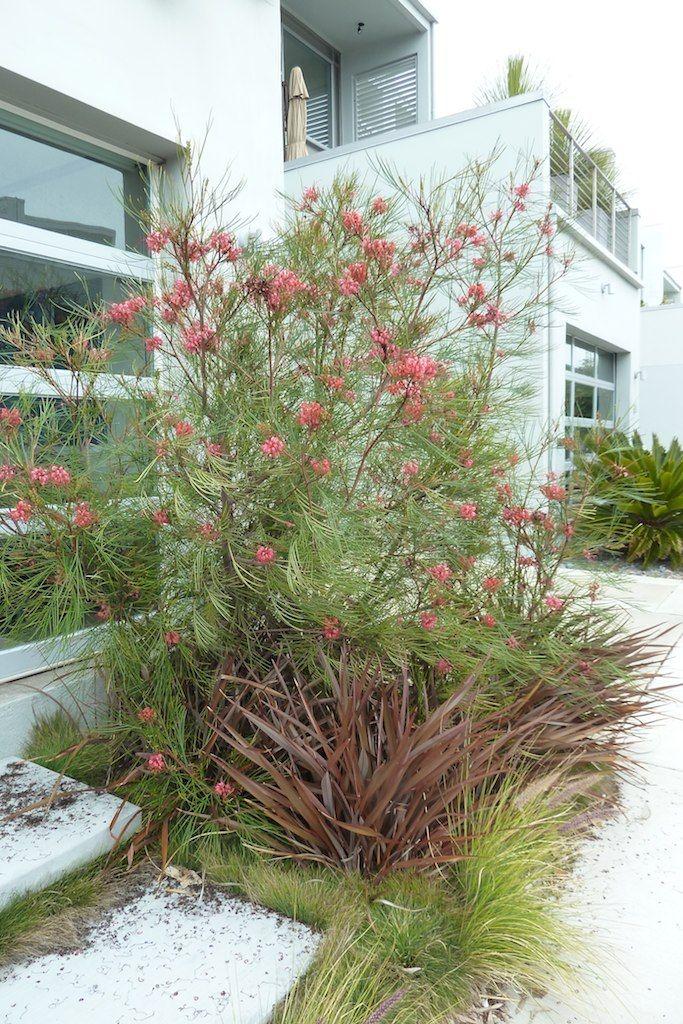 Grevillea Long John Google Search Australian Garden Design