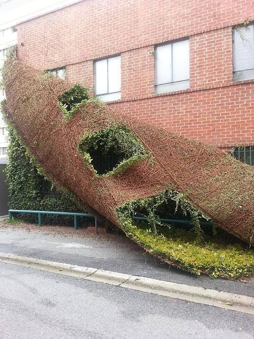 Ivy covered no more