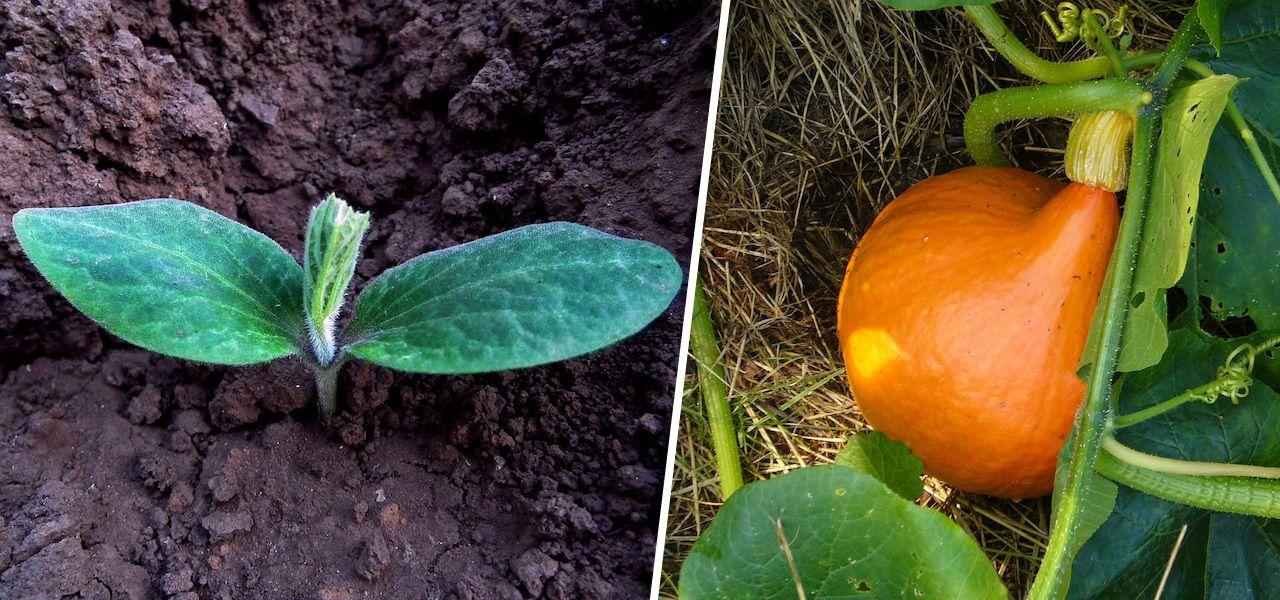 Kurbis Anpflanzen Anbau Pflege Und Ernte So Geht S Utopia De Kurbis Anpflanzen Kurbis Pflanzen Zucchini Anpflanzen