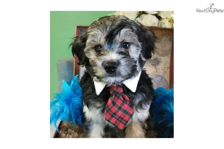 Max: Morkie / Yorktese puppy for sale near Jacksonville