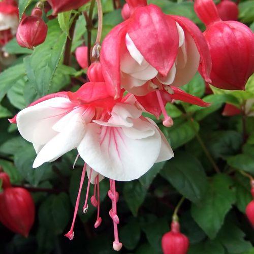 Hardy Fuchsia Spring Bells Fuchsia Plant Plants Fuchsia Garden