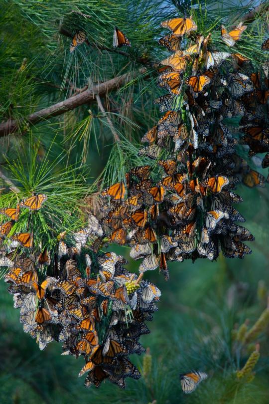 "Farfalle ""monarca"".."