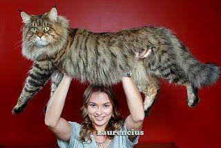 Rupert-Mammoth-Cat-Si-Kucing-Raksasa-Maine-Coon_1