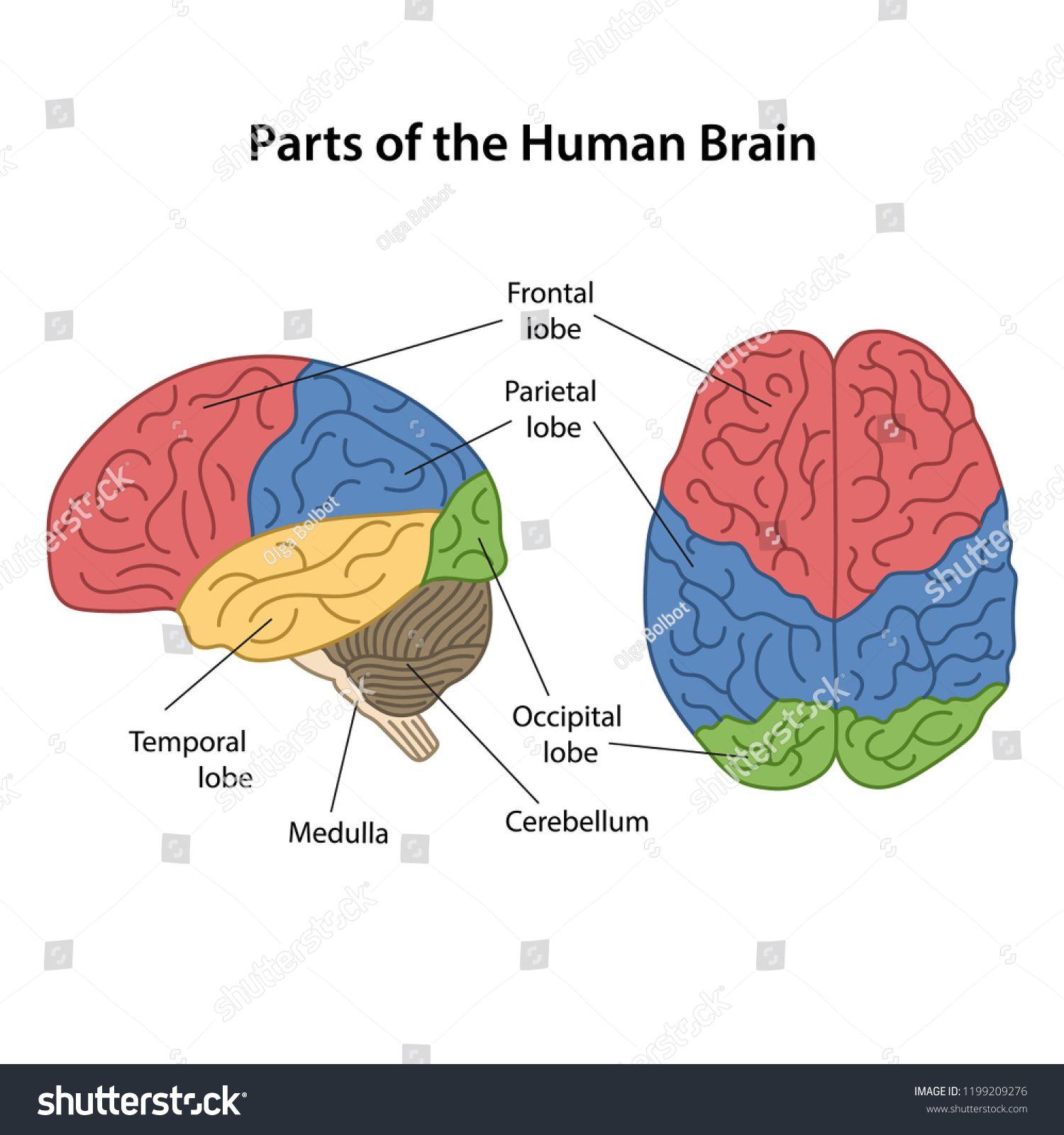Labeled Diagram Of The Human Brain | Human brain, Human ...