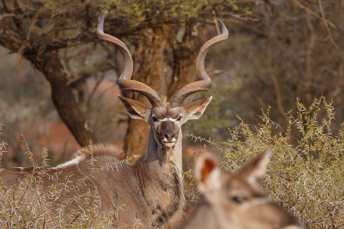 Greater Kudu from South Africa.