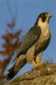Types Of Falcon Species By Nick Askew Below Is Shown A List Of Falcon Species Peregrine Falcon Nature Birds Pet Birds