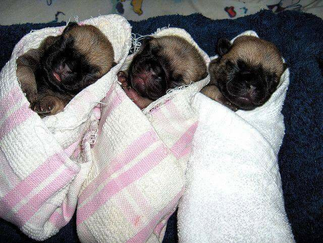 Pin By Cheryl Faddah On Dogs And Puppy S Pug Puppies Baby