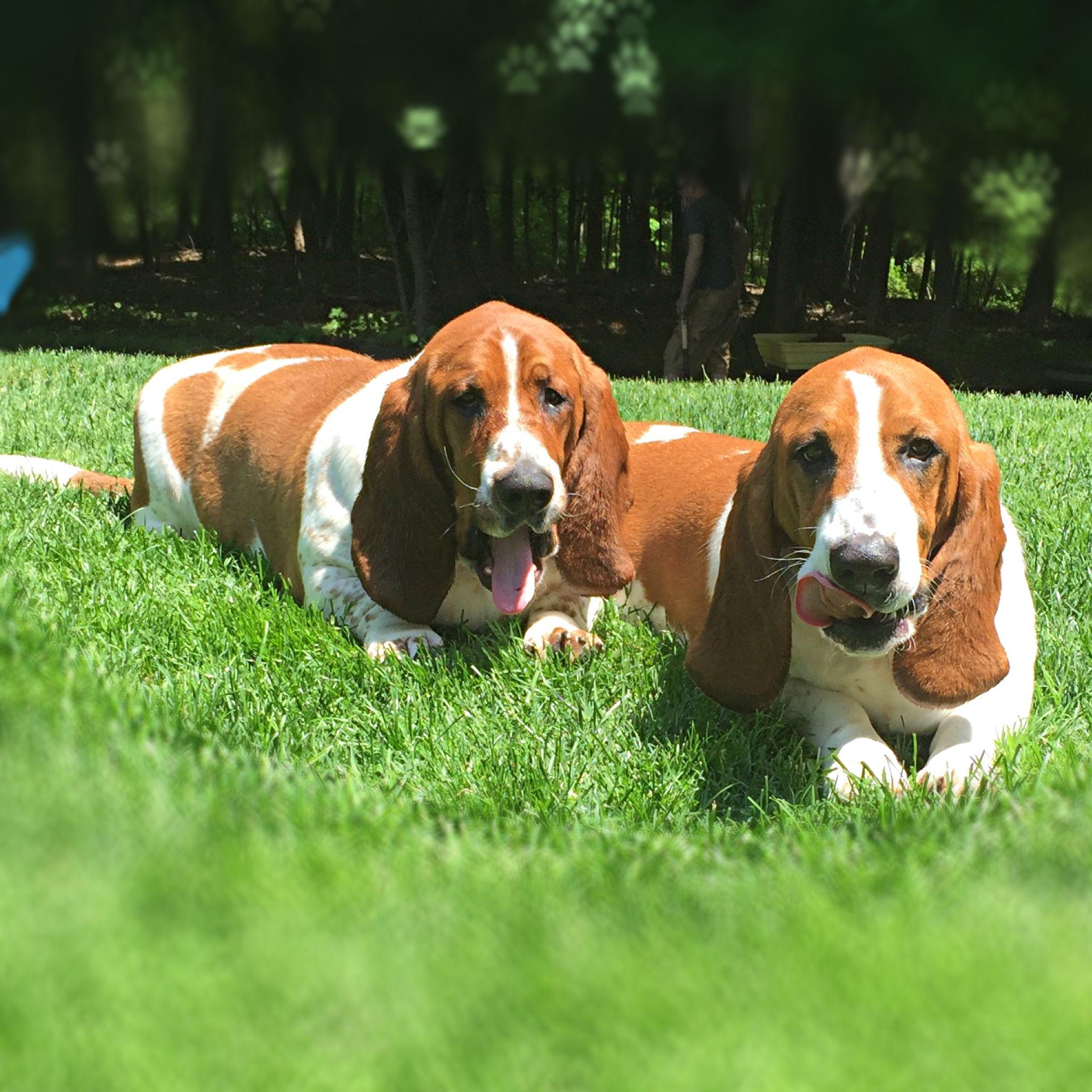 Basset Hound Twin Brothers Bassethound Puppies Basset Dog Basset Hound Basset Hound Puppy