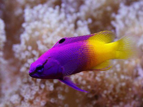 Royal Gramma Basslet Jpg 489 365 Marine Fish Cool Fish Sea Fish