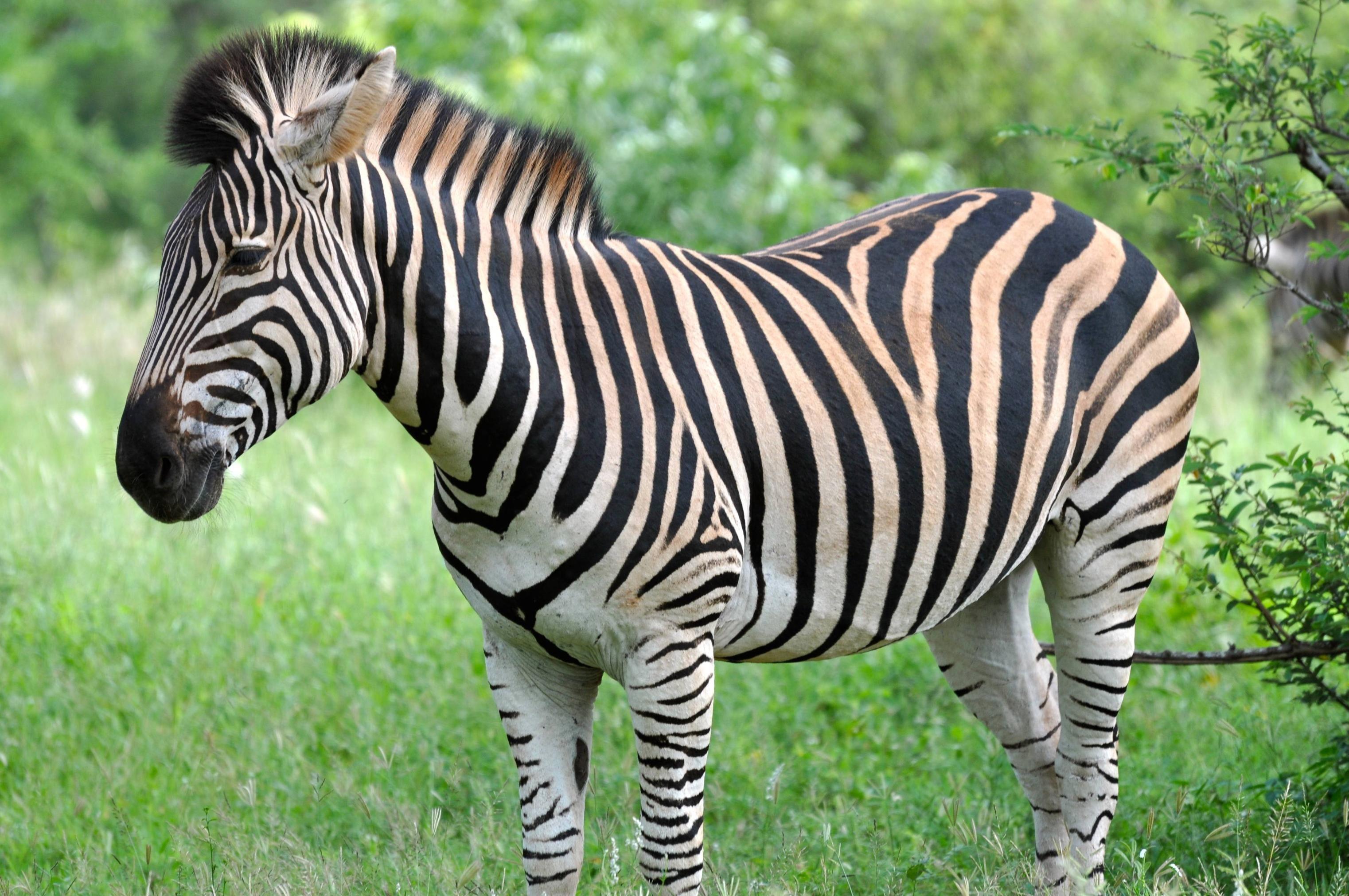 Chapman S Zebra