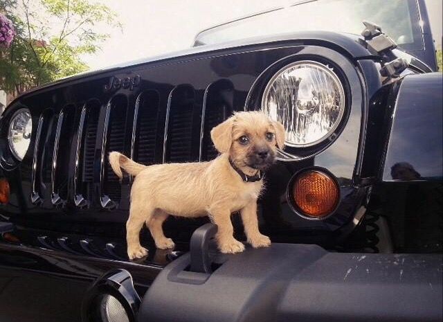 Jeep Puppy Jeep Dogs Dream Cars Jeep Dogs