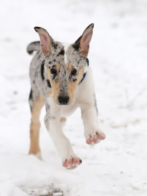 Smooth Collie Blue Merle Puppy Smooth Collie Blue Merle