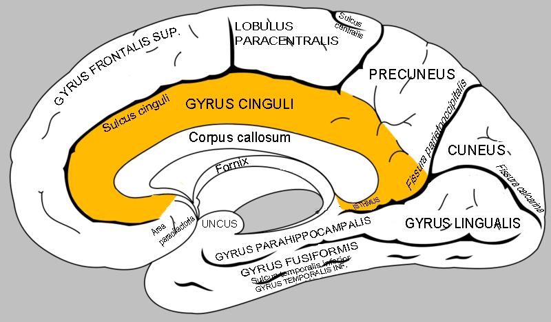 gyrus isthmus of cingulate gyrus lingual gyrus splenium | Brain ...