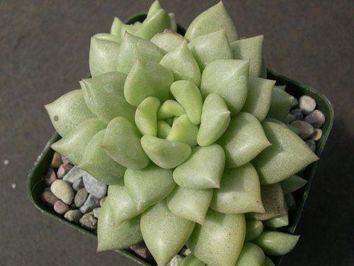 Stone Lotus Flower