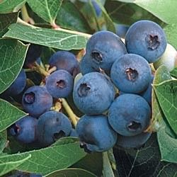 Blueberry Plants Found At Gurneyu0027s Seed U0026 Nursery Are Cold Hardy And Highly  Productive Berry Plants. Our Top Hat Patio Blueberry Seedlings Are Perfect  For ...