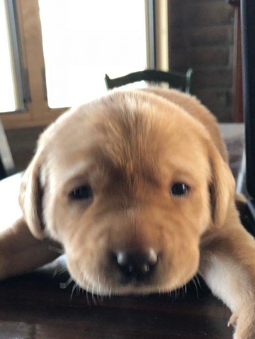 Vanilla Labrador Retriever Adopt Labrador Retriever s