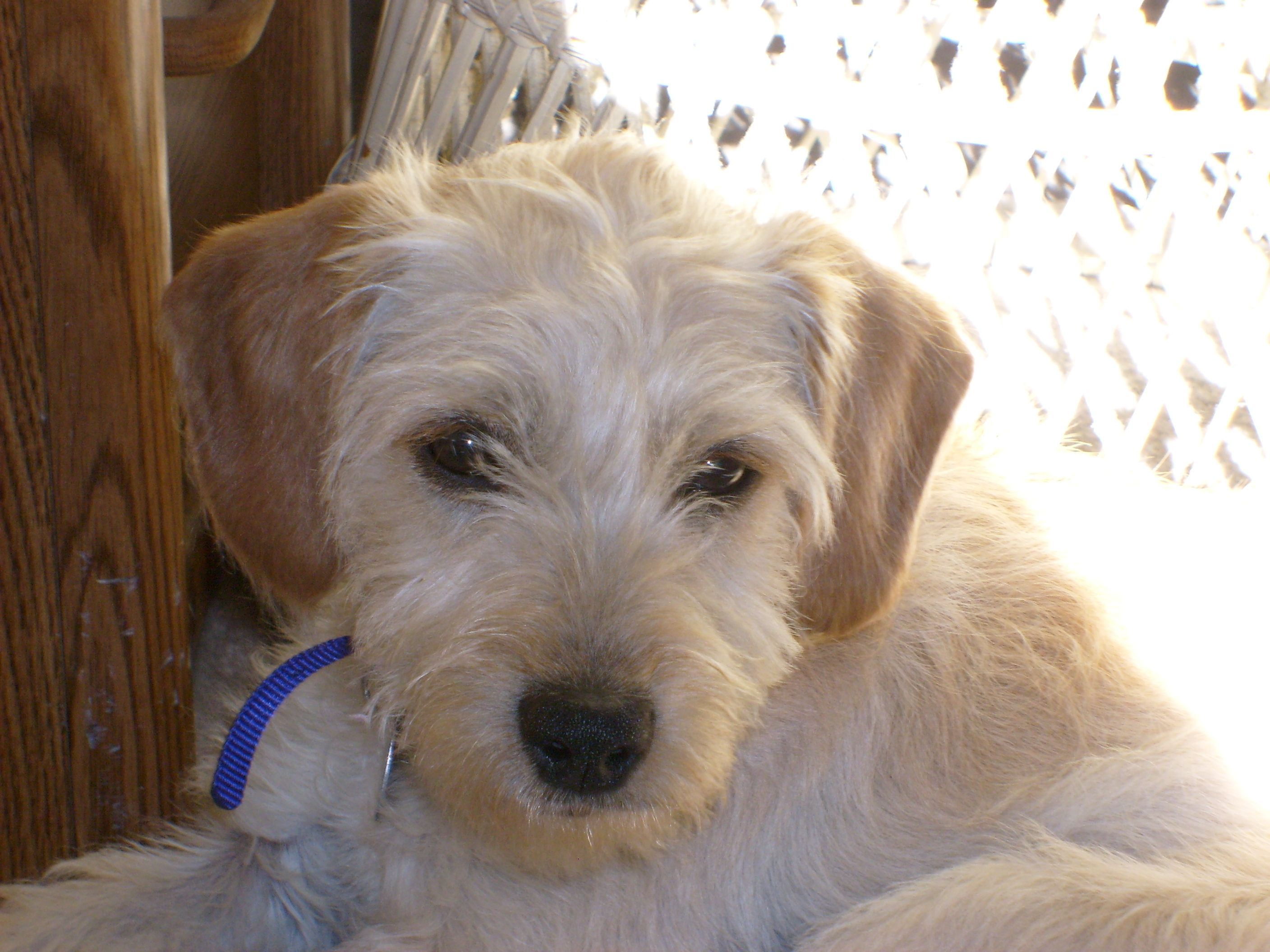Terrier Poodle Mix Meet Scruffy Terrier Poodle Mix Puppy Names