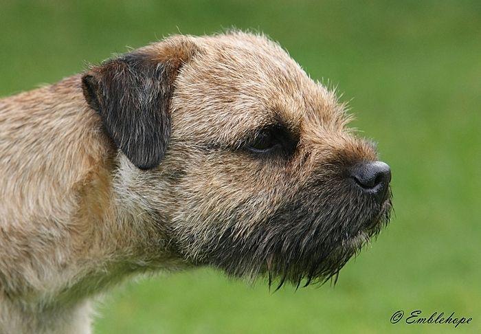 Border Terrier Head Like That Of An Otter Border Terrier