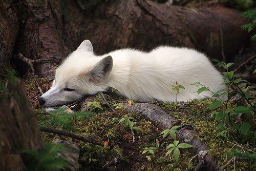 Raposa do Artico... linda!