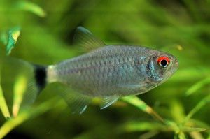 How To Care For The Tetra With The Signature Red Eye Tetra Fish Tropical Fish Aquarium Tetra