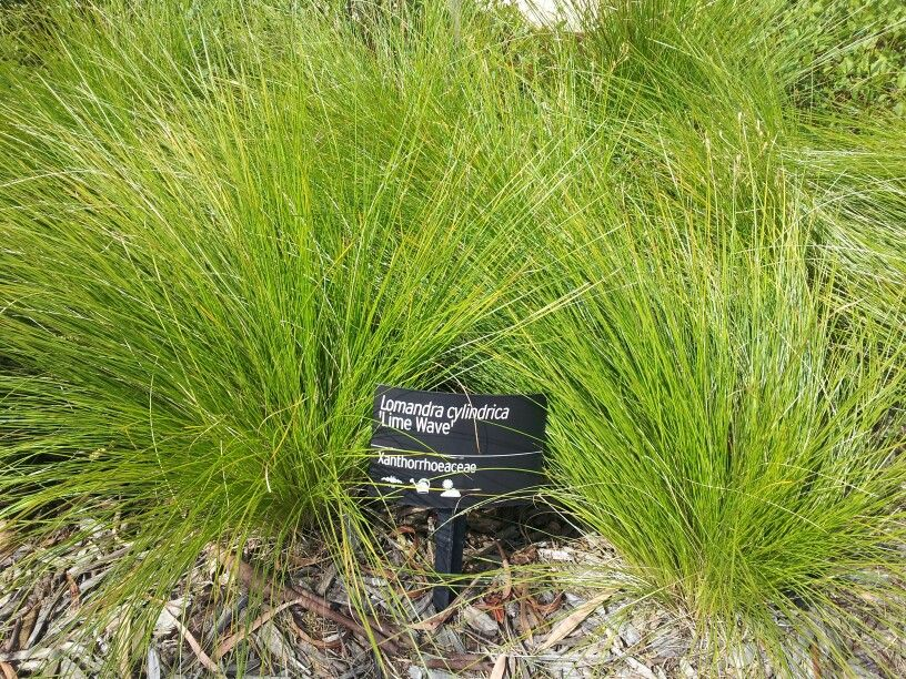 lomandra cylindrica  u0026quot lime wave u0026quot   possible substitute for athropodium matapouri bay